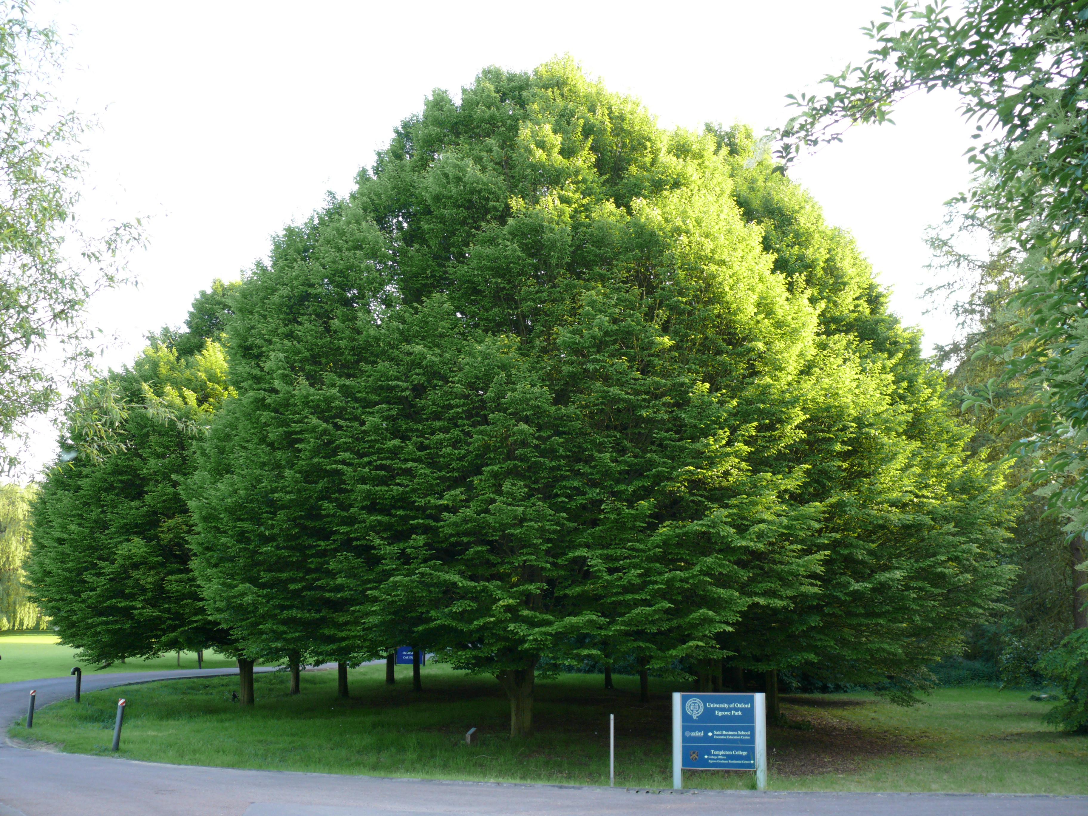 filecarpinus betulus in summerjpg wikimedia commons