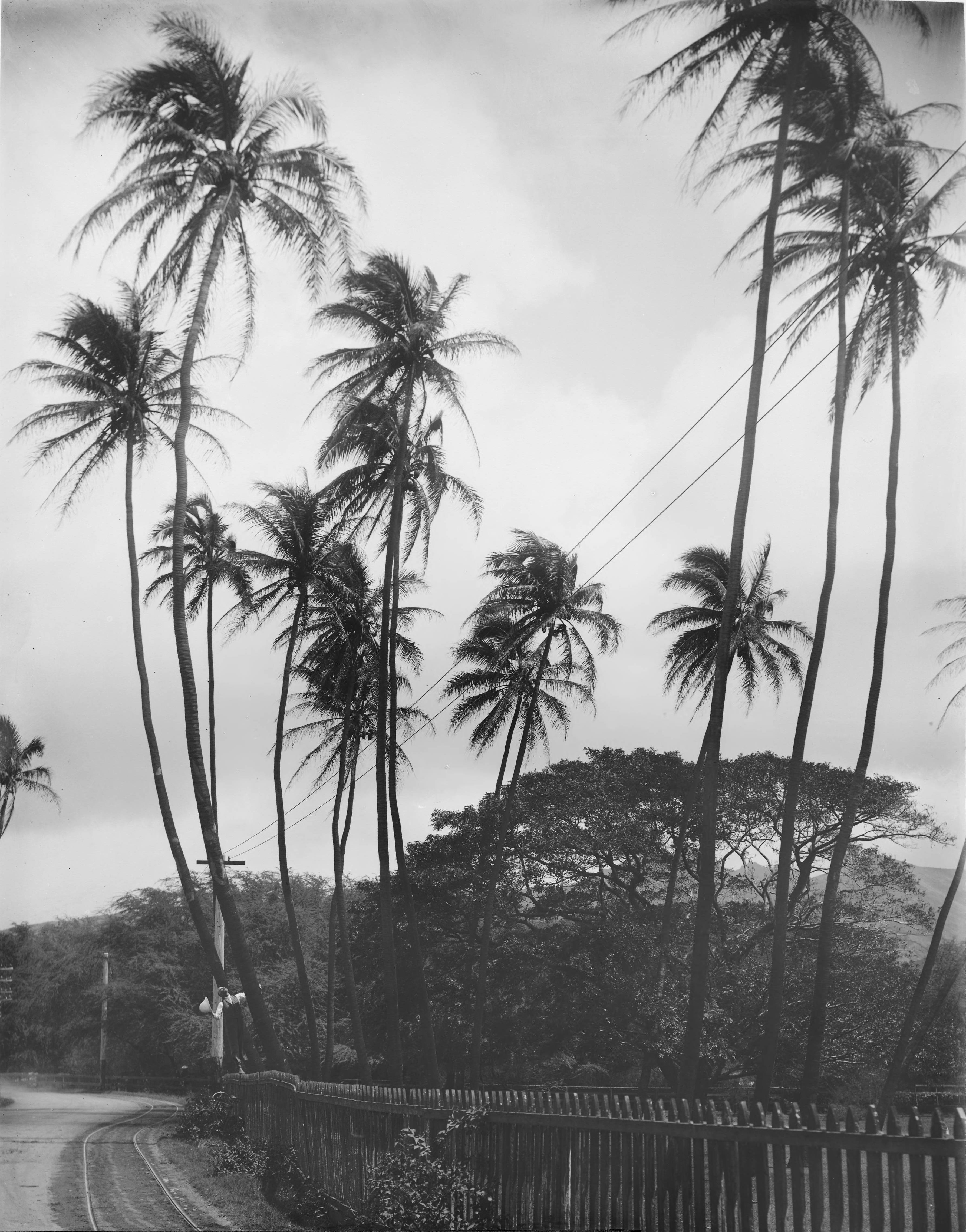 File Coconut Trees 100 Years Old Honolulu Hawaii 1907