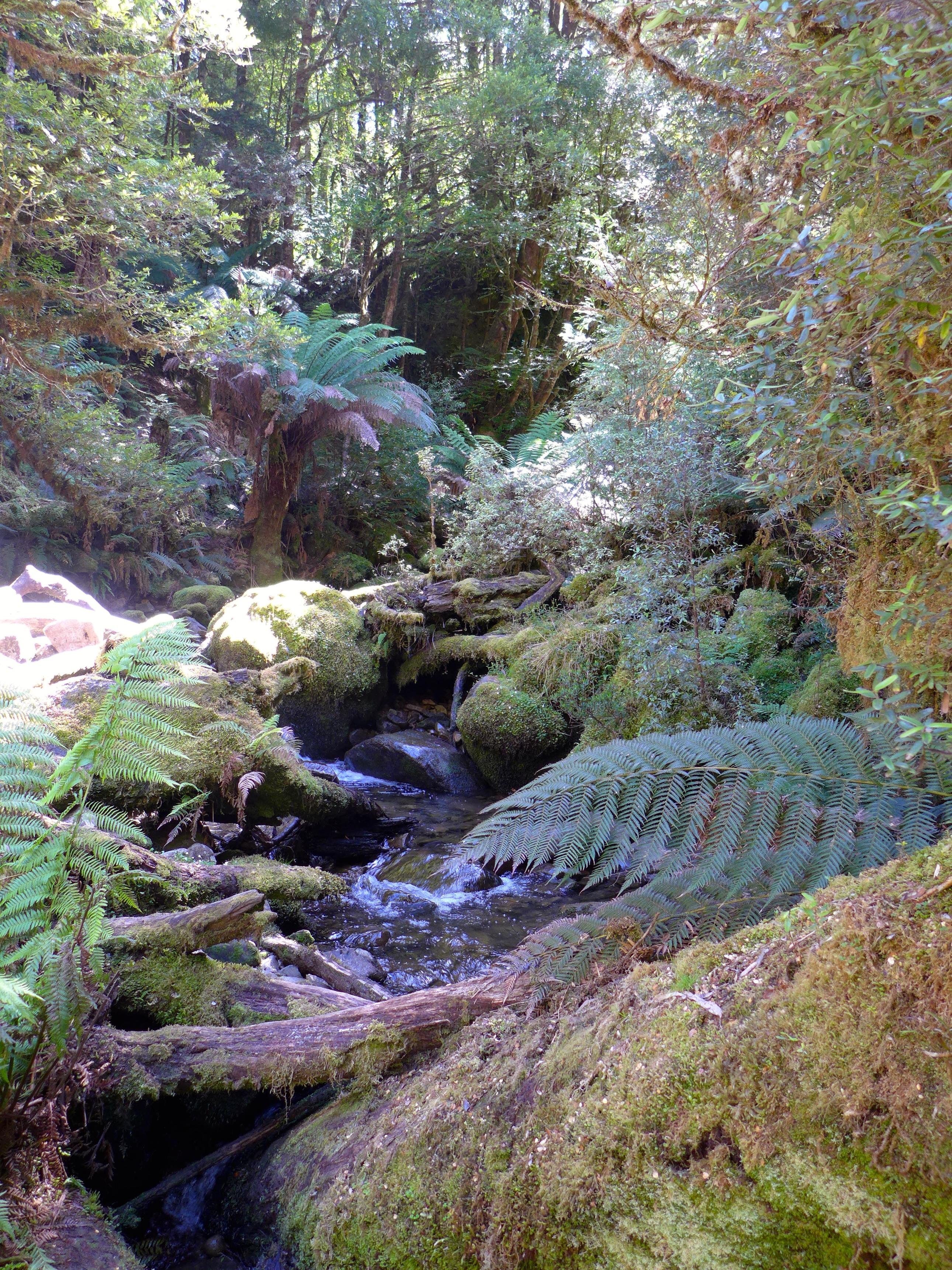 Tasmanian cool temperate rainforests