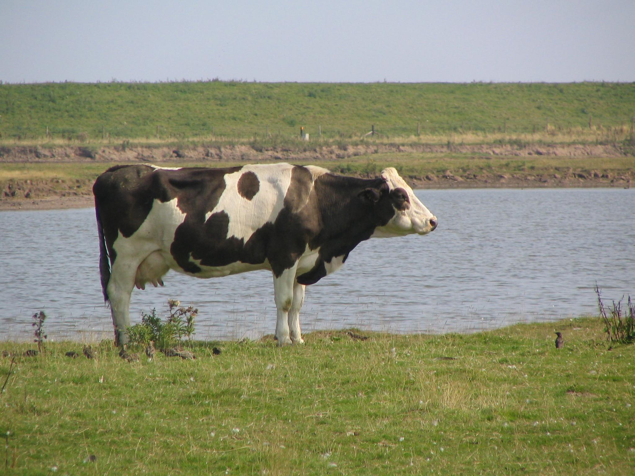 Cow at Freiston Shore - geograph.org.uk - 1010890