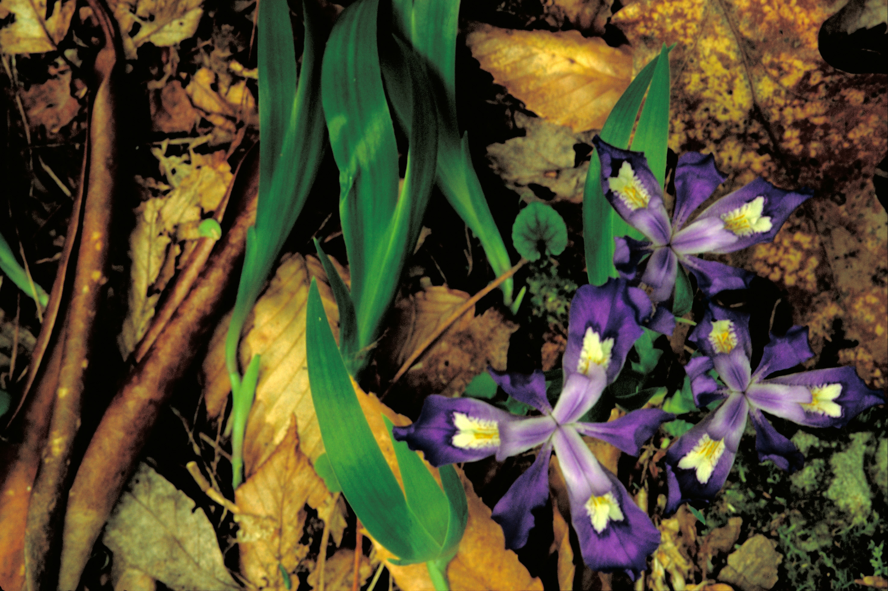 Filedwarf Crested Iris Flowerg Wikipedia