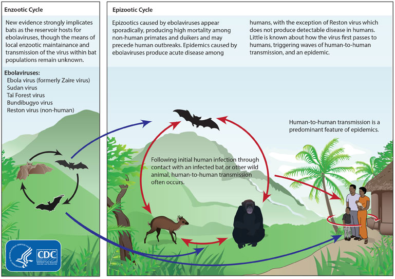 Ebola Virus Cycle