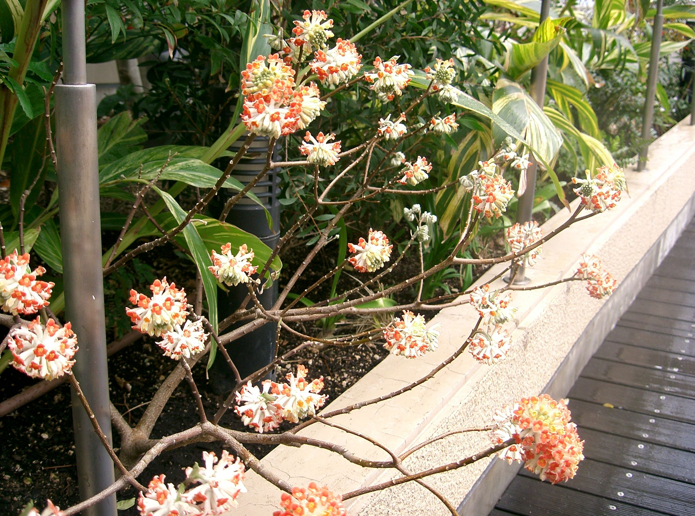 File edgeworthia chrysantha wikimedia commons for Edgeworthia chrysantha