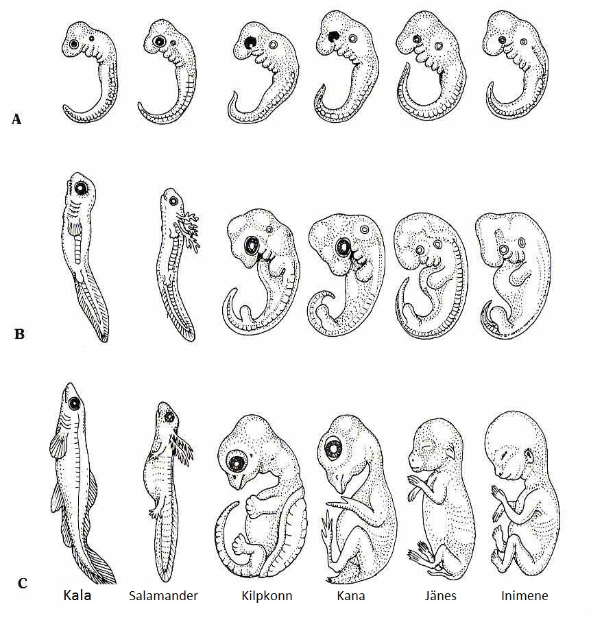 Chicken Egg Embryology Diagram Coloring Page