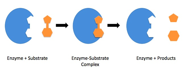 Enzyme mechanism