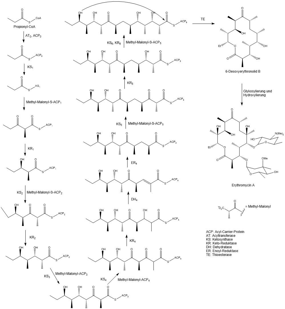 Erythromycin a biosynthesis in Saccharopolyspora erythraea