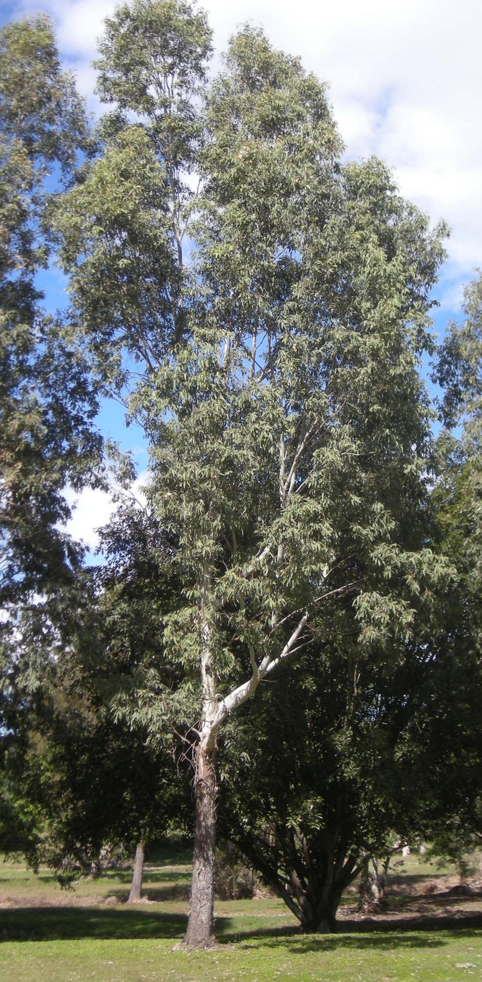 eucalyptus raveretiana wikipedia. Black Bedroom Furniture Sets. Home Design Ideas