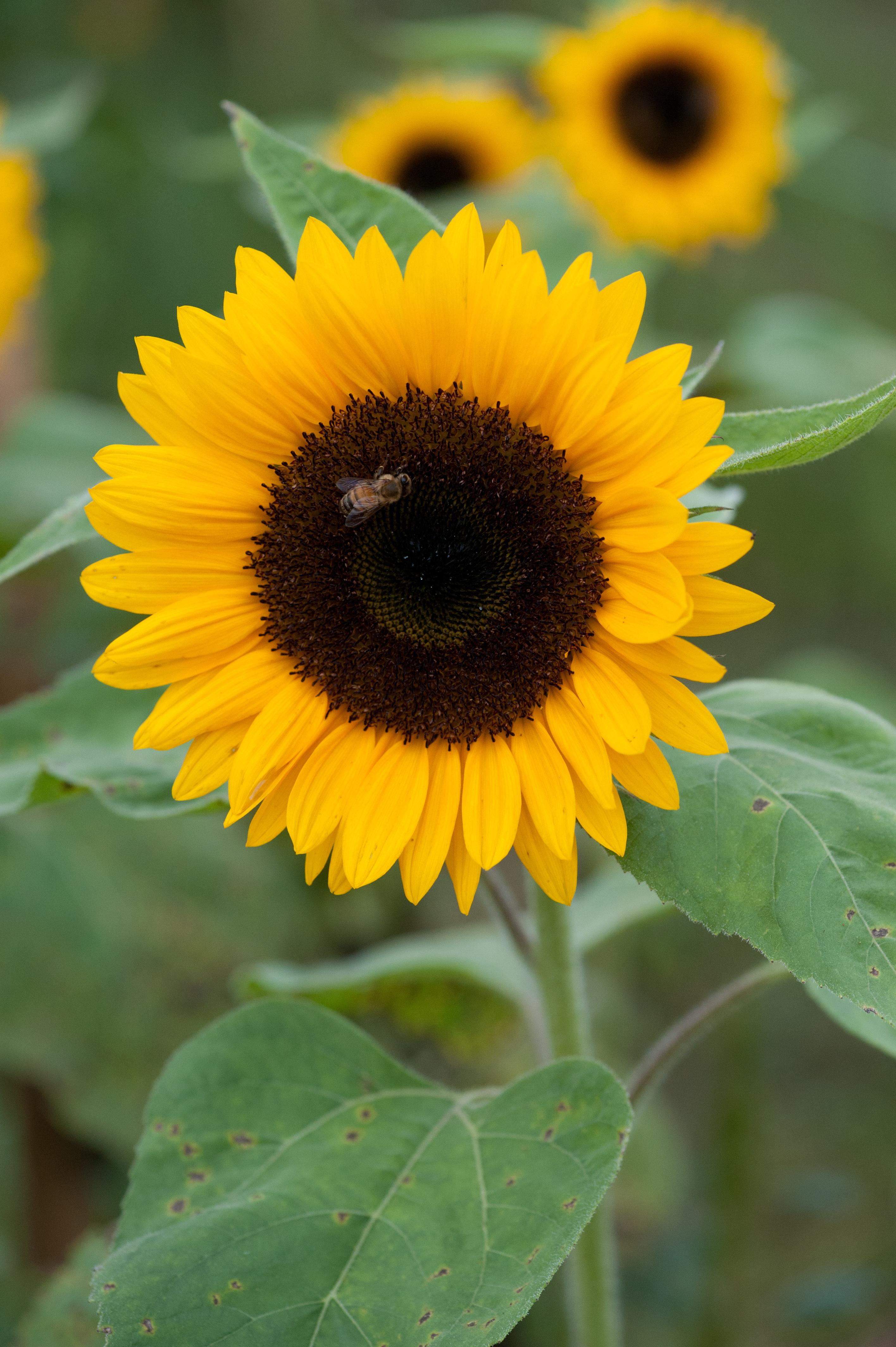 how to grow sunflowers in australia