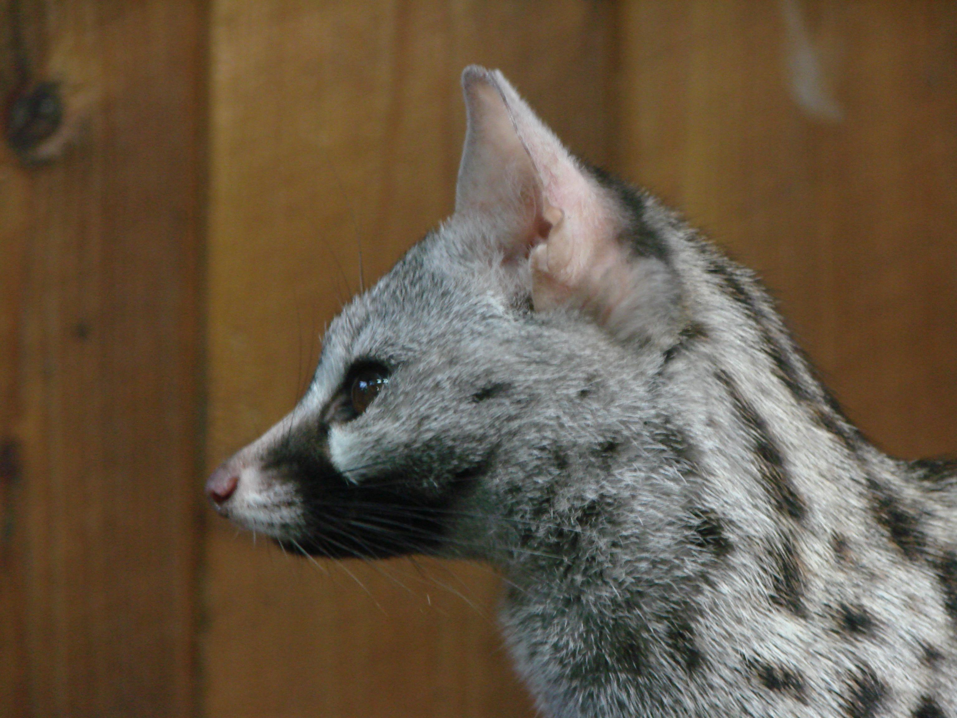 Description Genetta genetta felina.JPG