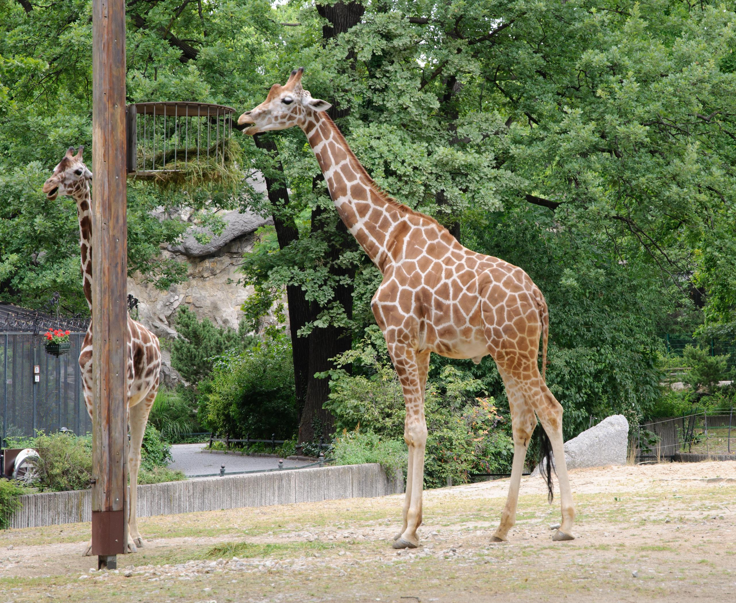 Giraffe Berlin