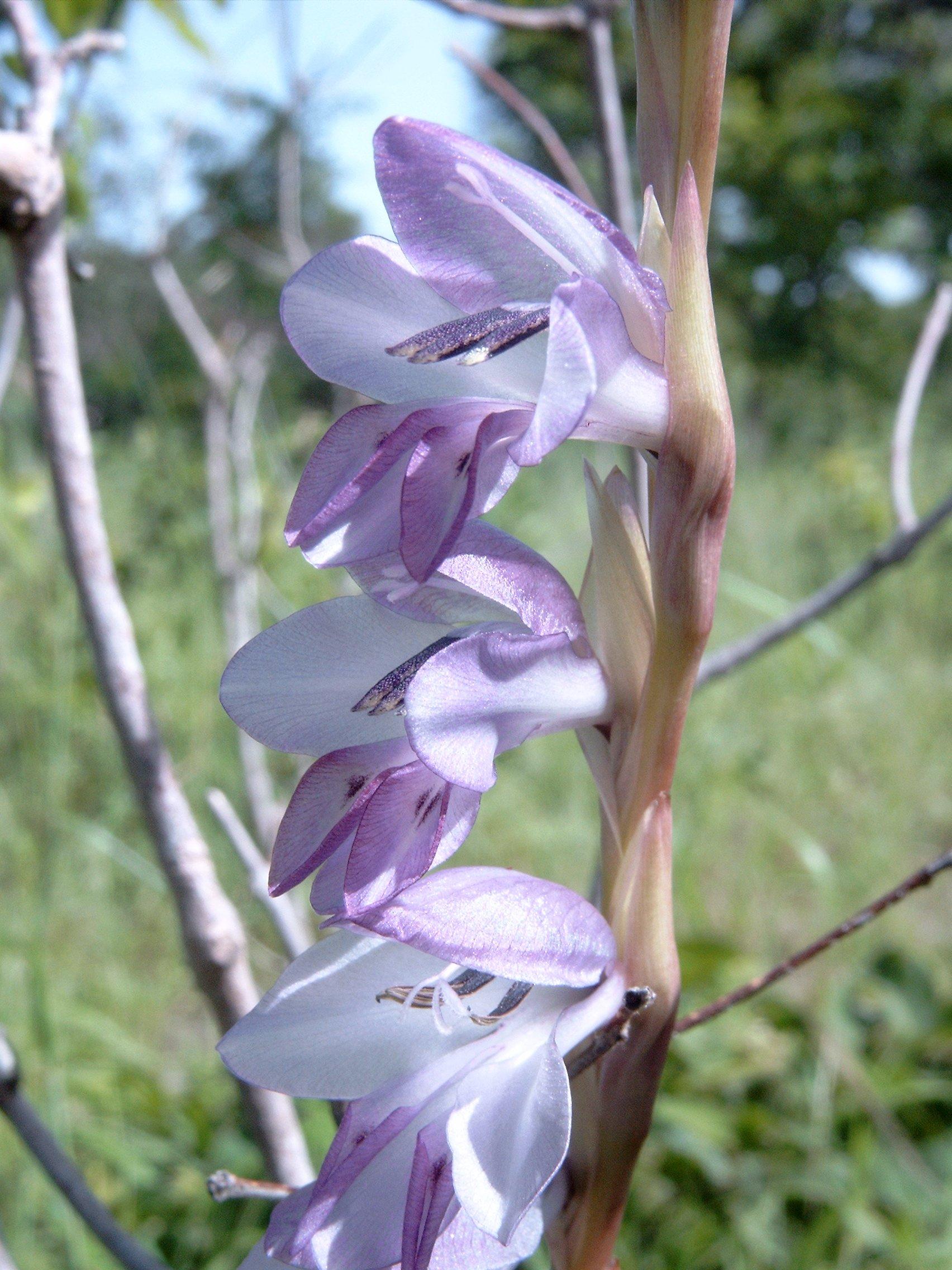 Gladiolus Wikipedia La Enciclopedia Libre