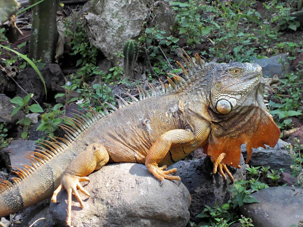 Hewan Terlangka2016 Iguana Elsavador Images