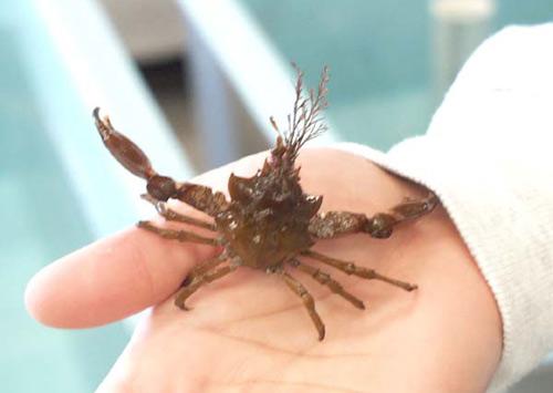 Pugettia Gracilis Wikipedia