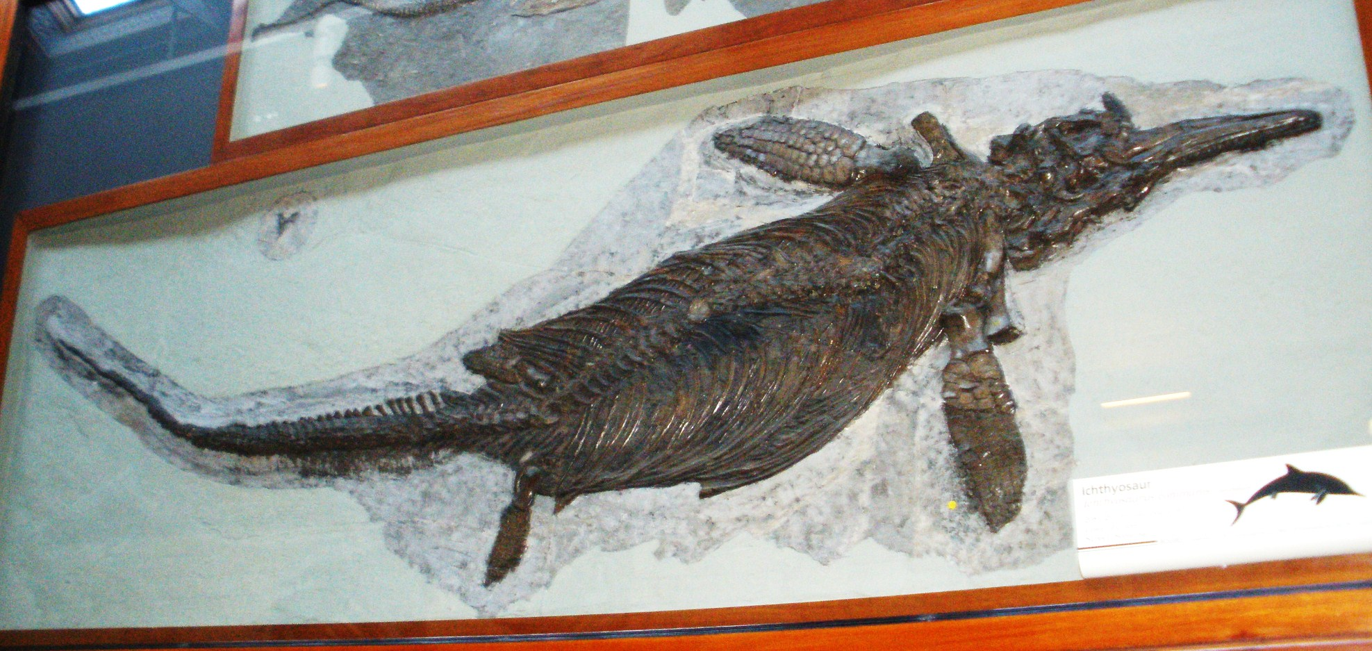 ichthyosaur fossil - photo #36