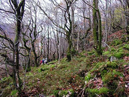 Latterbarrow - Ancient Semi Natural Woodland - geograph.org.uk - 31631