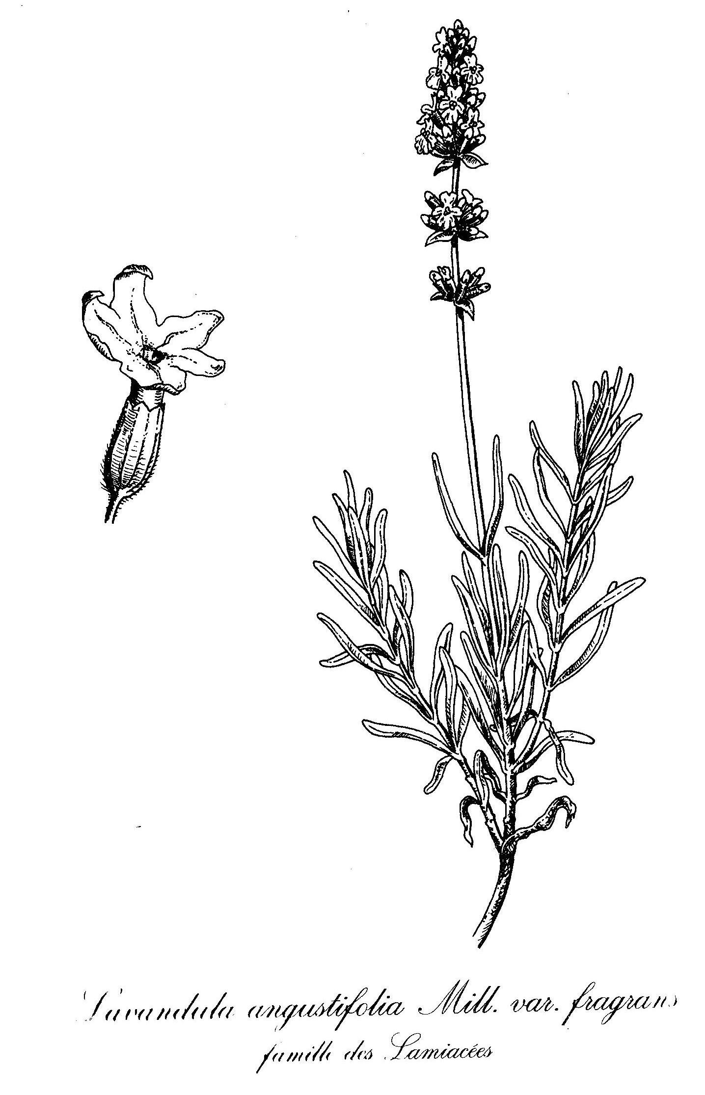 English Lavender Seeds Home Depot