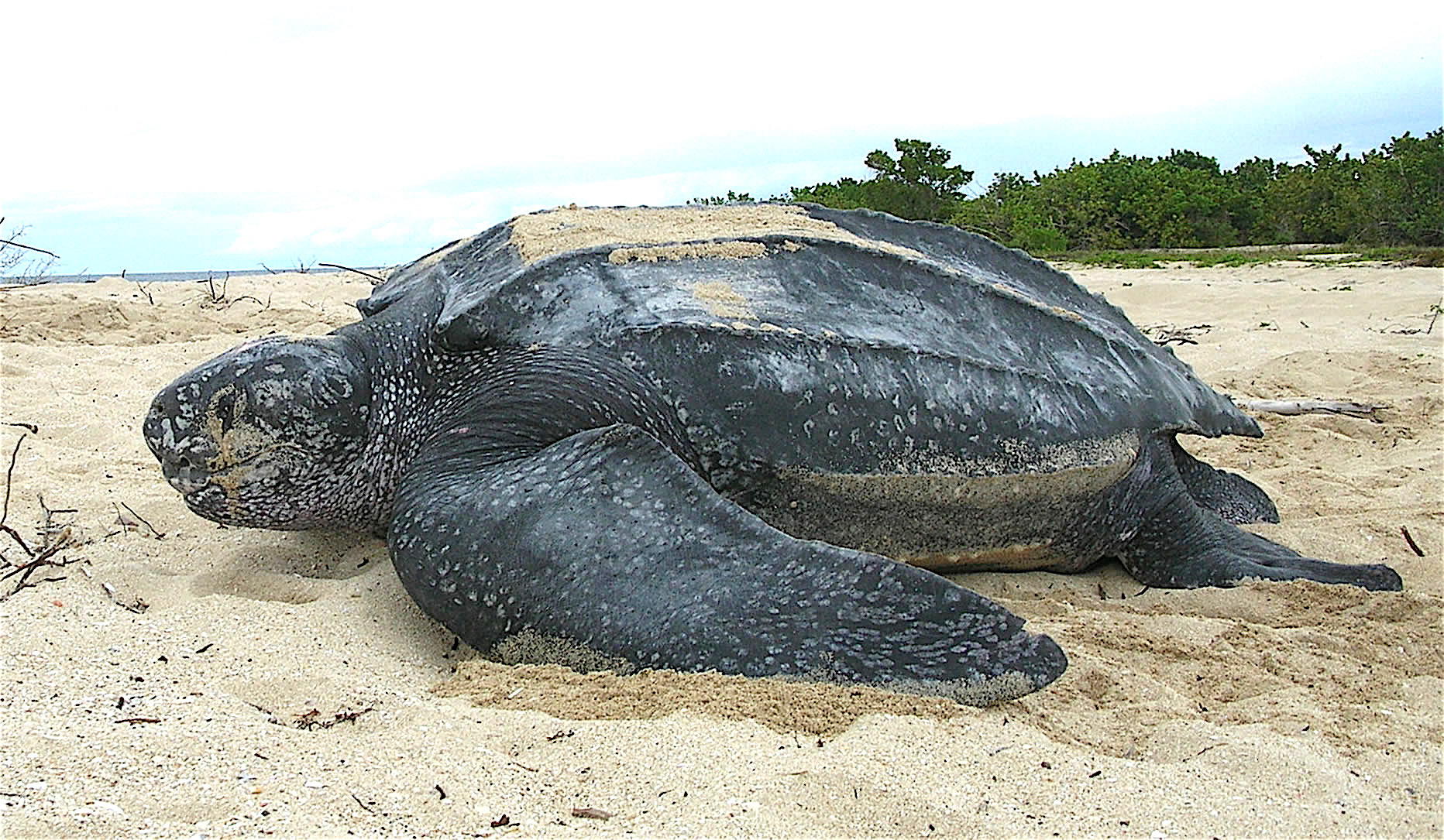 leatherback sea turtle hatching