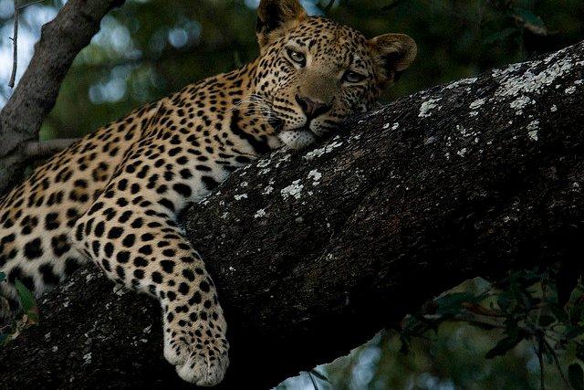 File:Leopard in Botswana.jpg