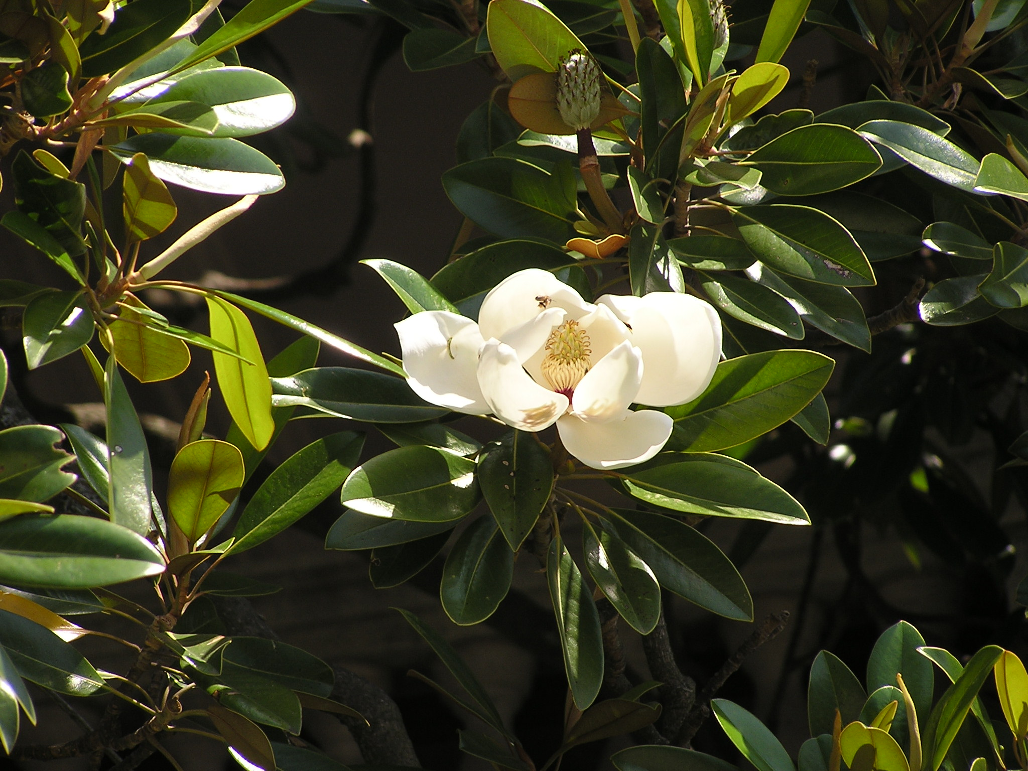 file magnolia grandiflora wikimedia commons. Black Bedroom Furniture Sets. Home Design Ideas