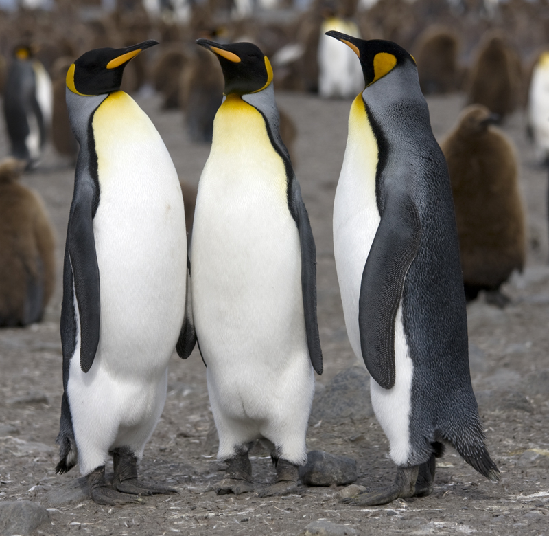 http://upload.wikimedia.org/wikipedia/commons/f/fc/Manchot_royal_-_King_Penguin.jpg