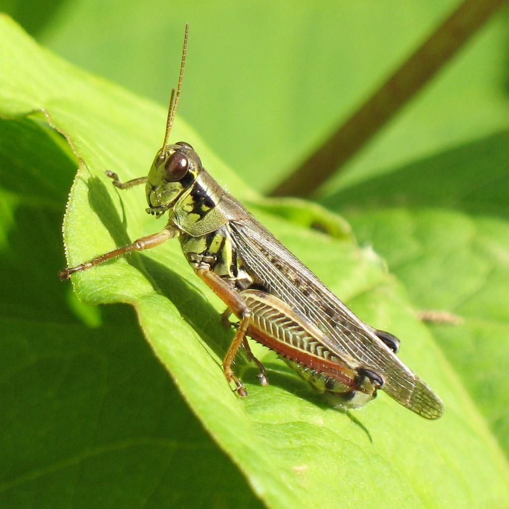 Red-legged grasshopper (Melanoplus femurrubrum), nature