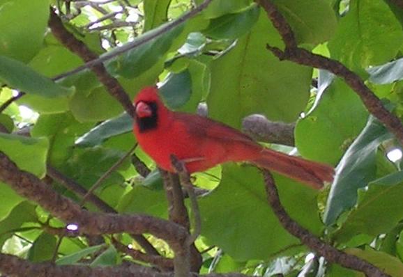 File:Northern Cardinal - bird (Cardinalis cardinalis).JPG