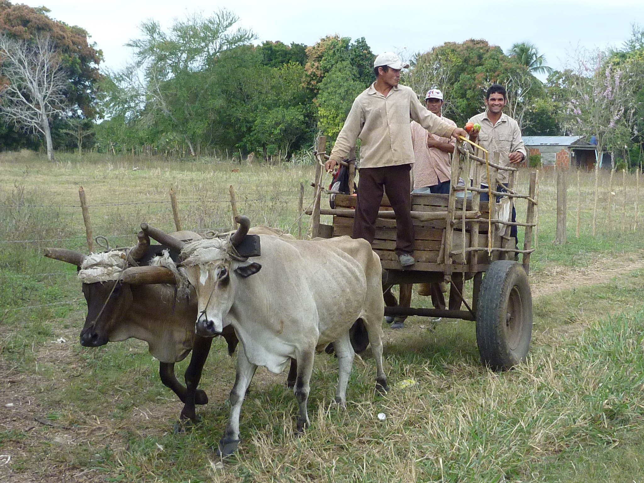 Cow Pulling Wagon : Ox
