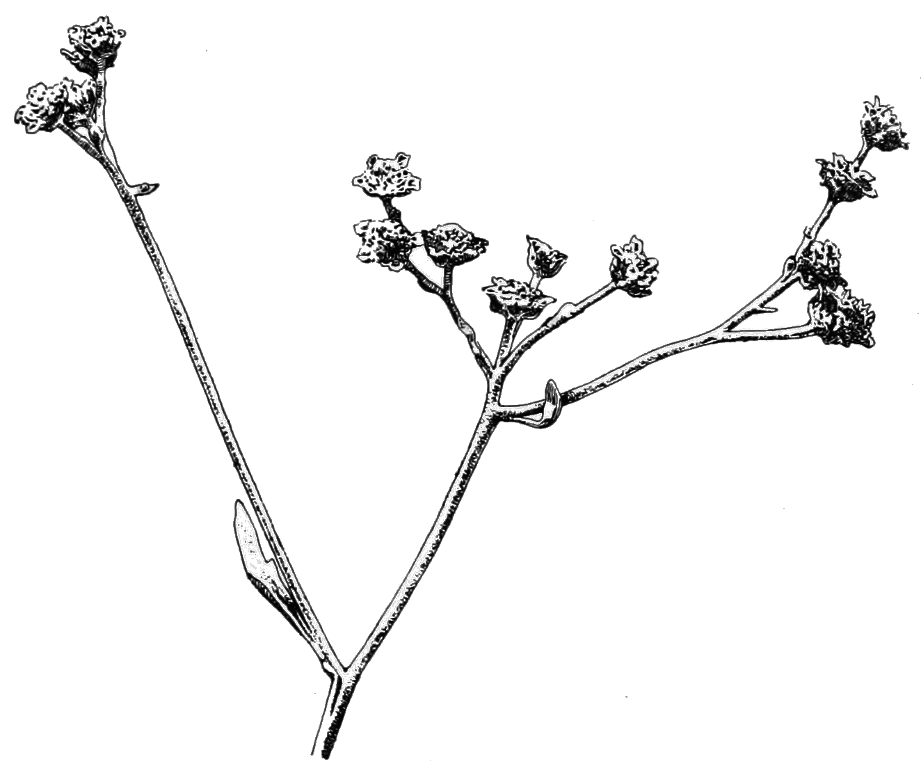 PSM V81 D323 Flowers of the guayule.png
