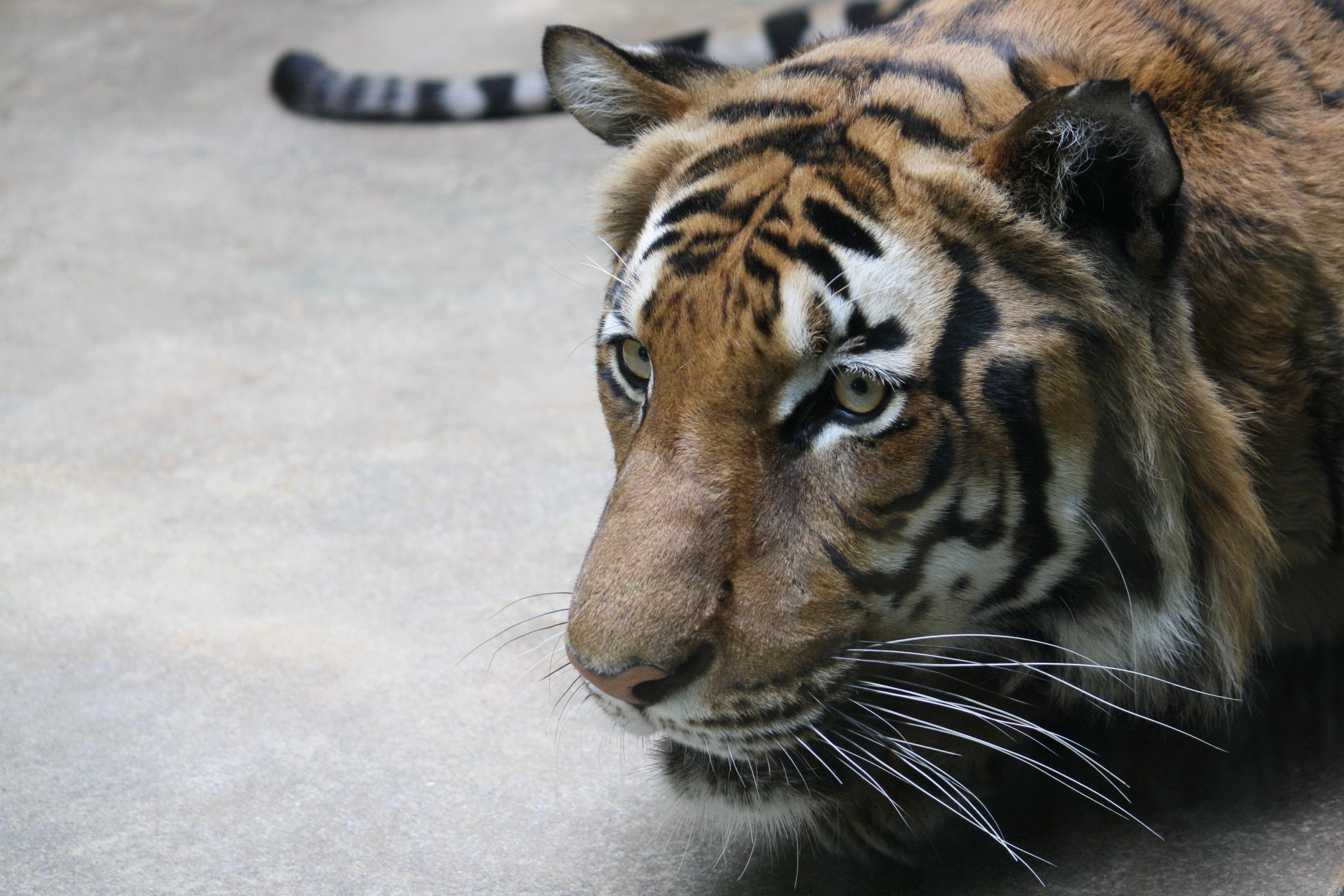 filepanthera tigris corbetti zoo praha 279jpg