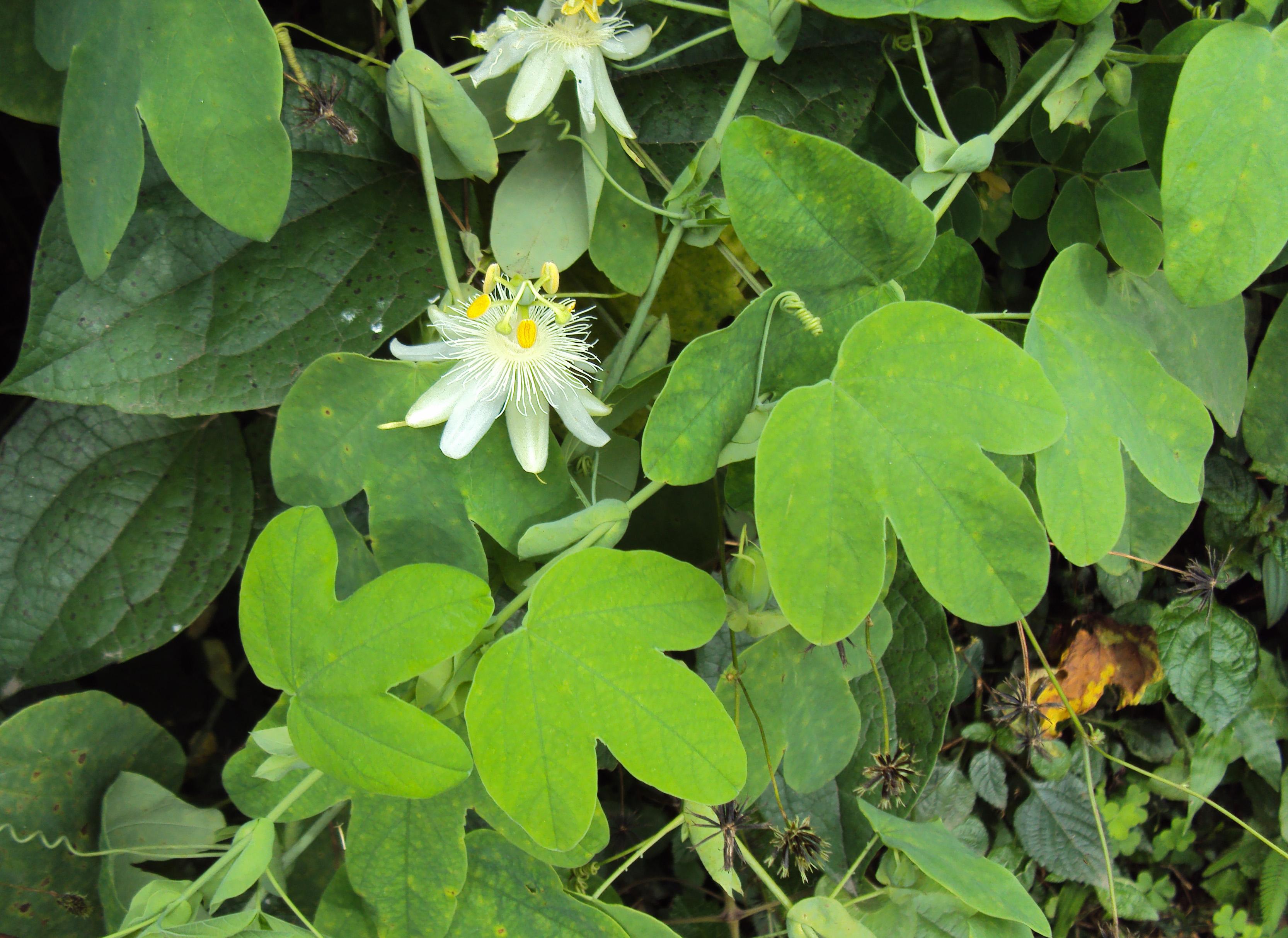 Passiflora subpeltata - Wikipedia