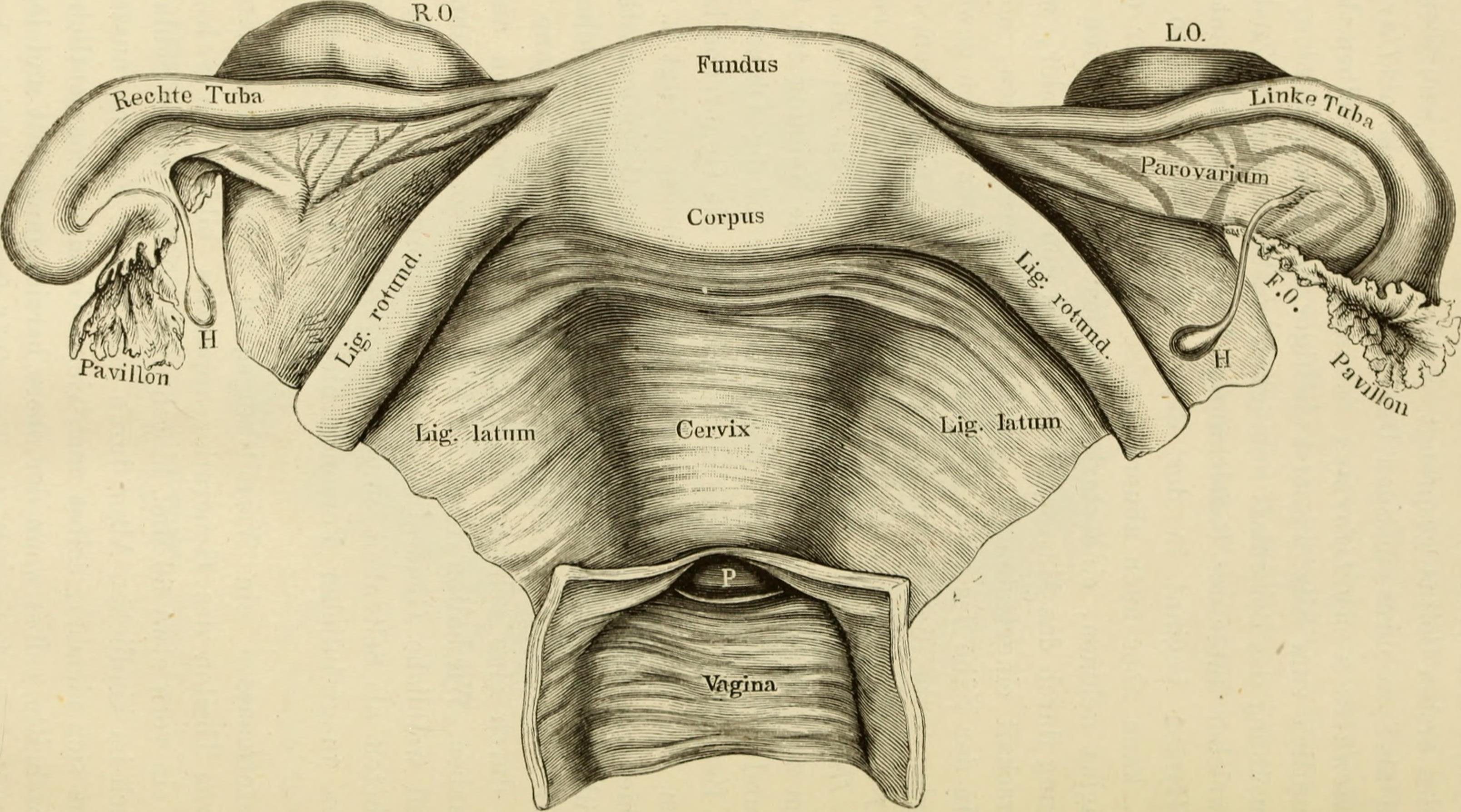 File:Pathologische Anatomie der weiblichen Unfruchtbarkeit ...