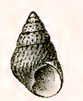 <i>Phasianotrochus rutilus</i> species of mollusc