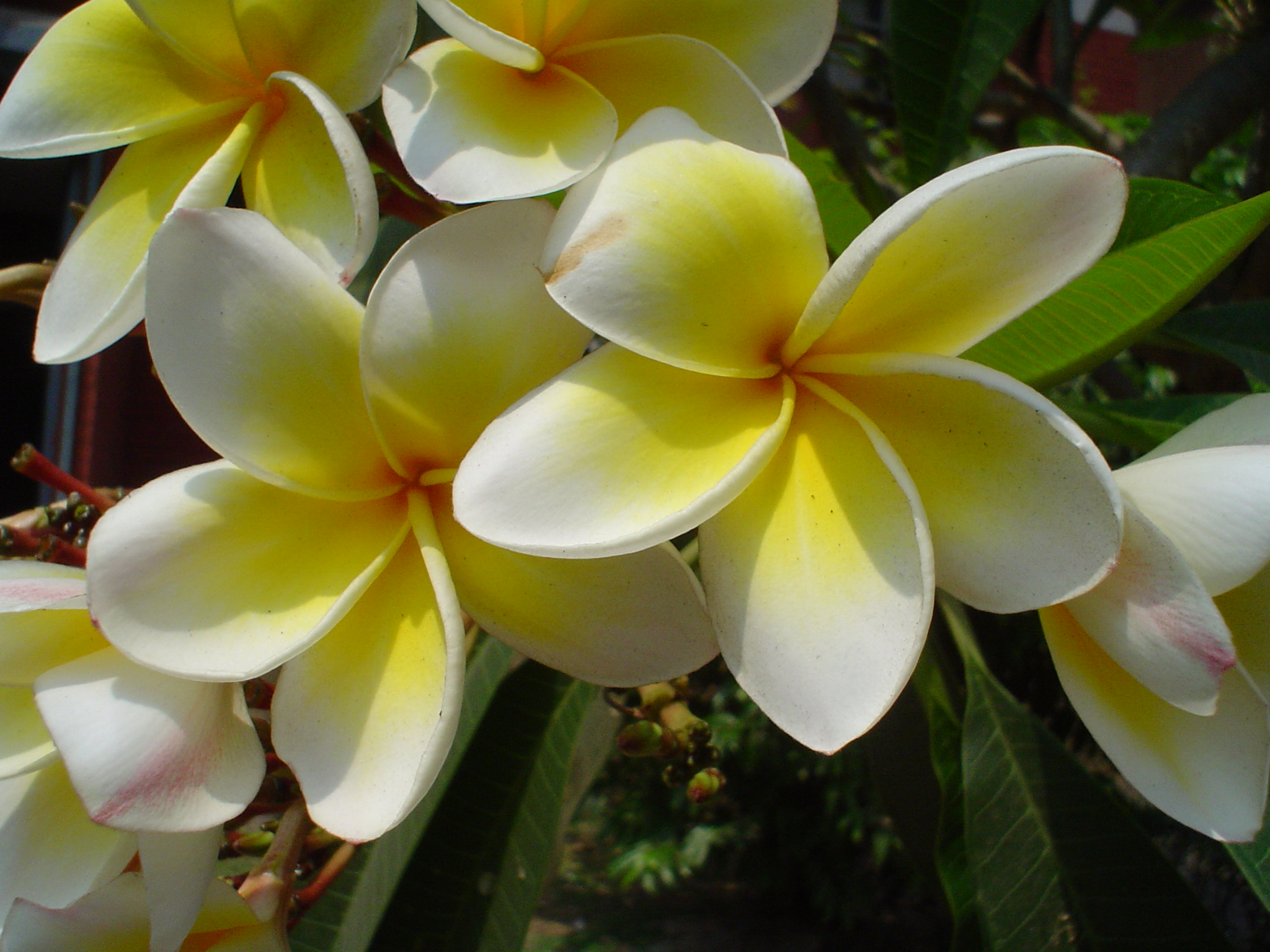 Plumeria Rubra Acutifolia