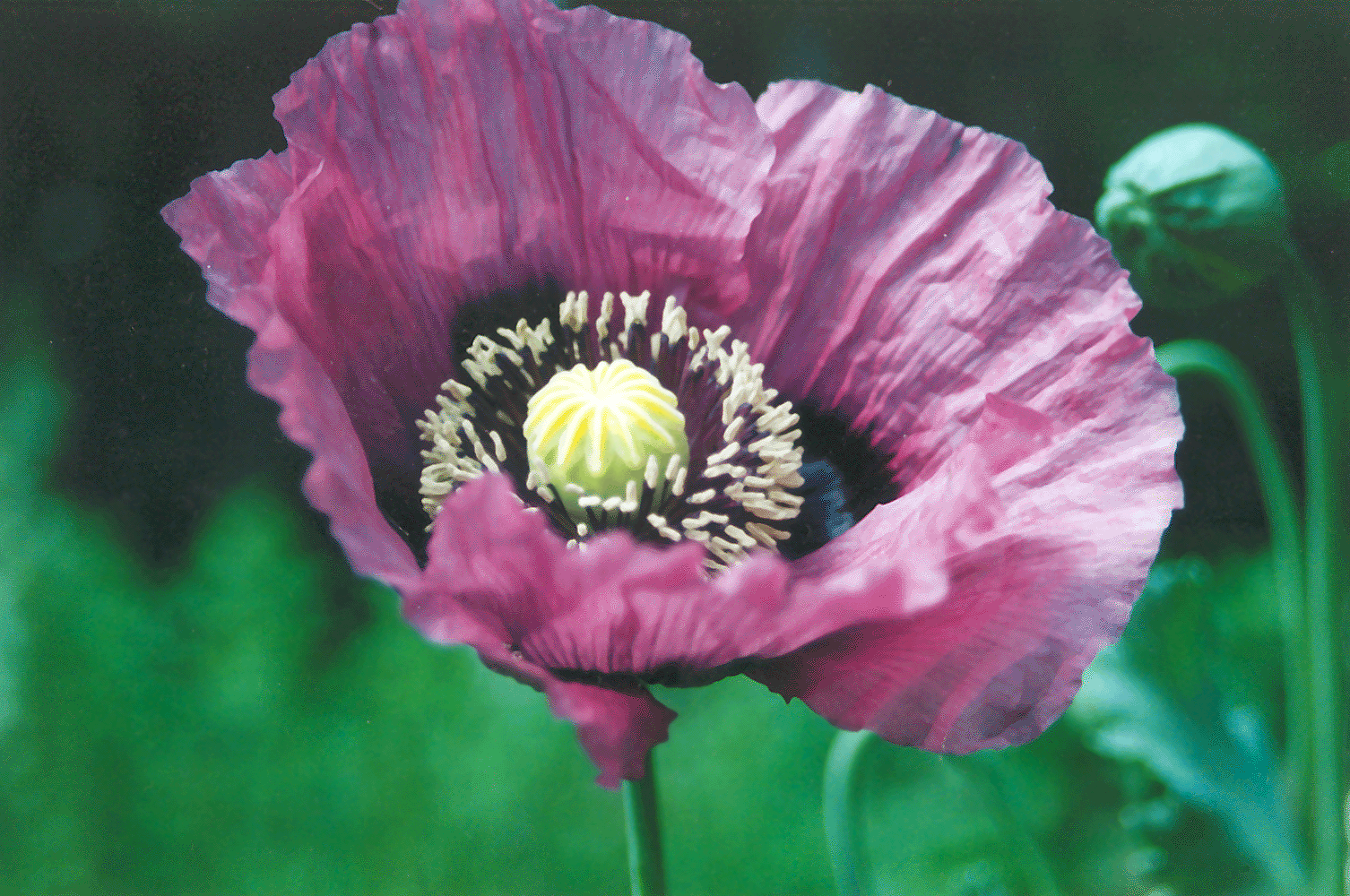Filepoppy purpleg wikimedia commons filepoppy purpleg mightylinksfo