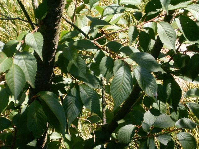 File:Prunus serrulata leaves.jpg