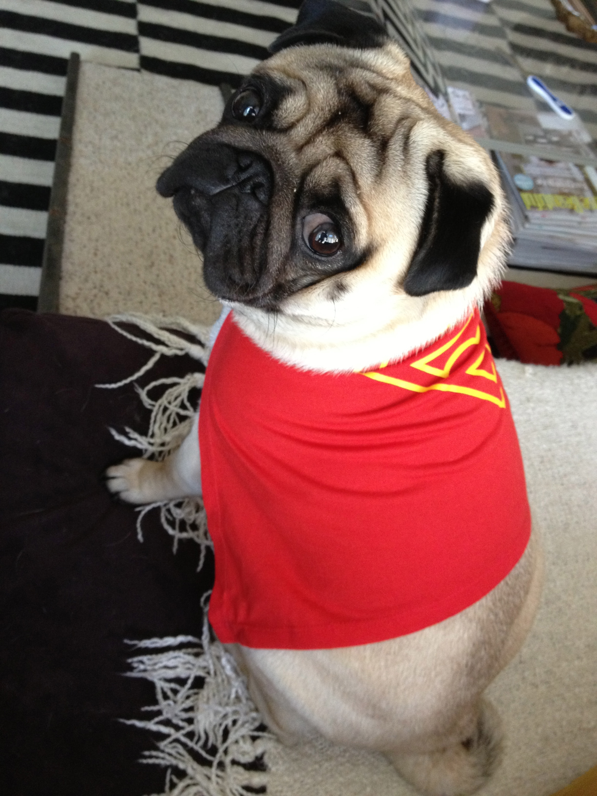 Filepug Supermanjpg Wikimedia Commons