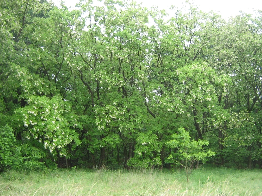 Agáty biele (lat. Robinia pseudoacacia)