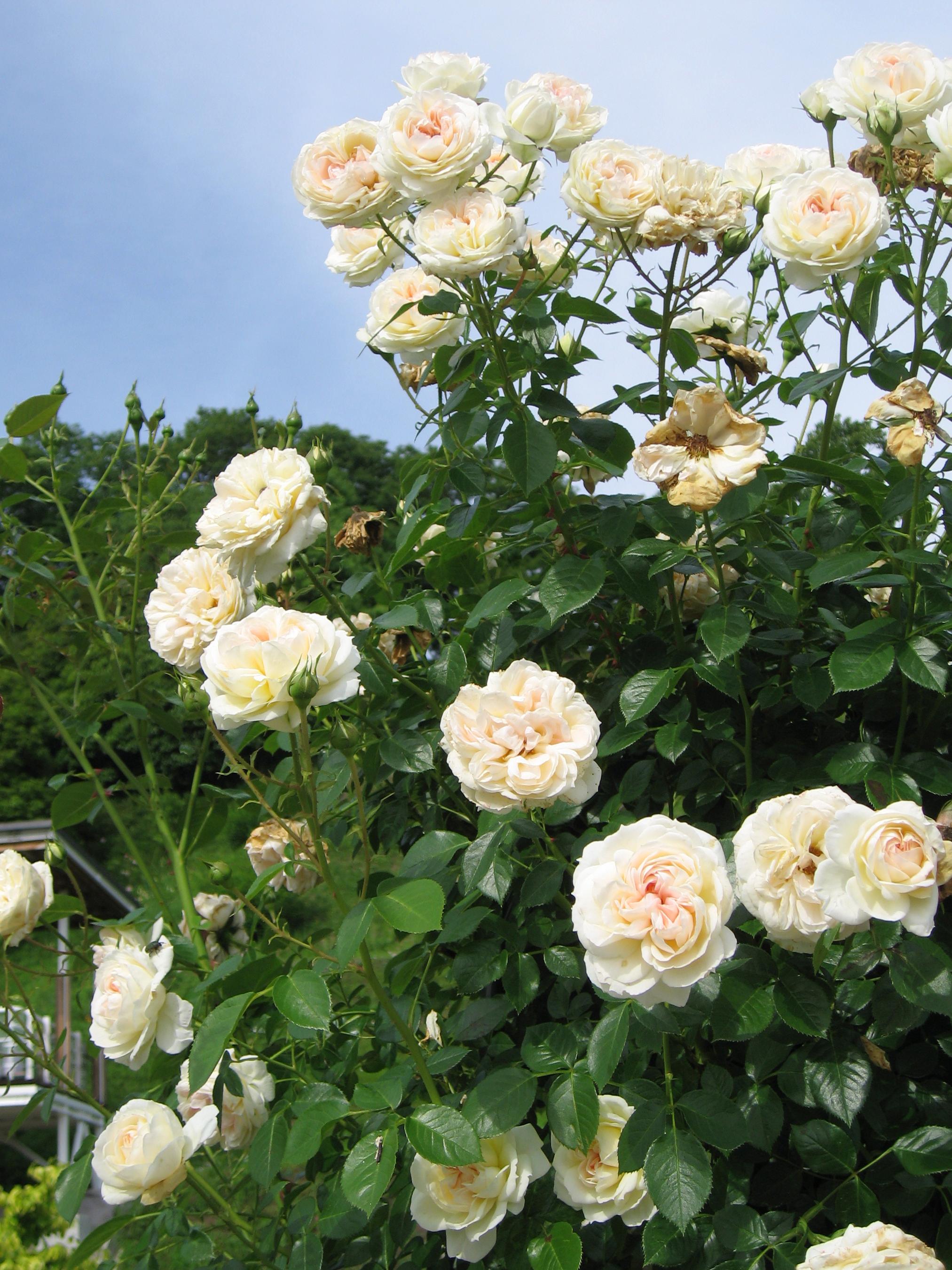 File rosa mon jardin et ma wikimedia commons for Ma maison et mon jardin