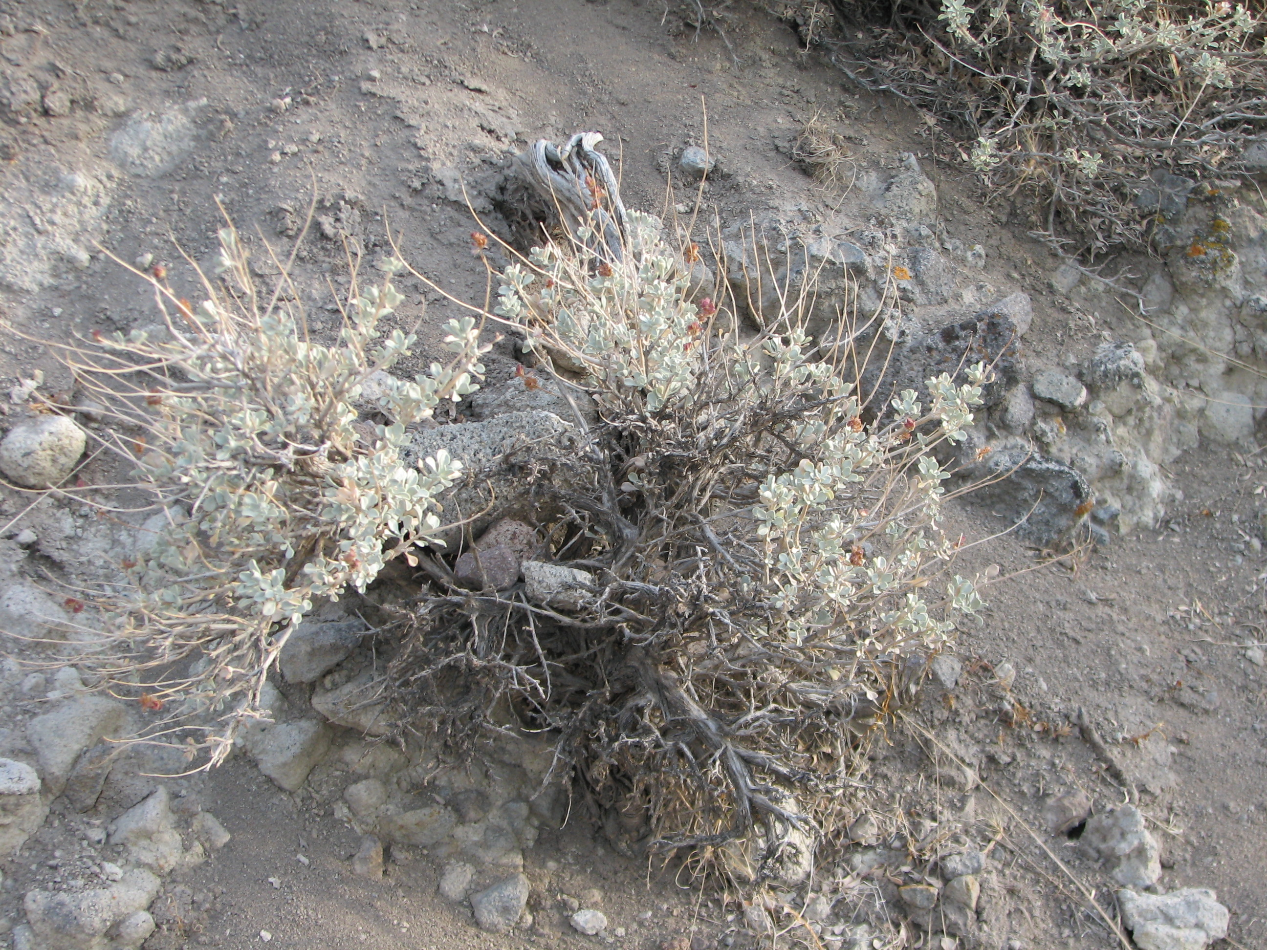 File sagebrush in rocky wikimedia commons for Soil wikipedia