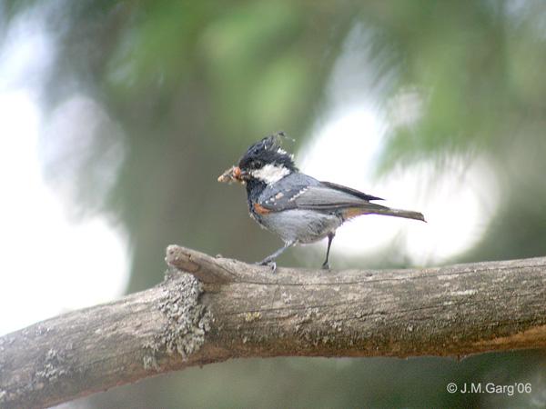 Spot-winged Tit