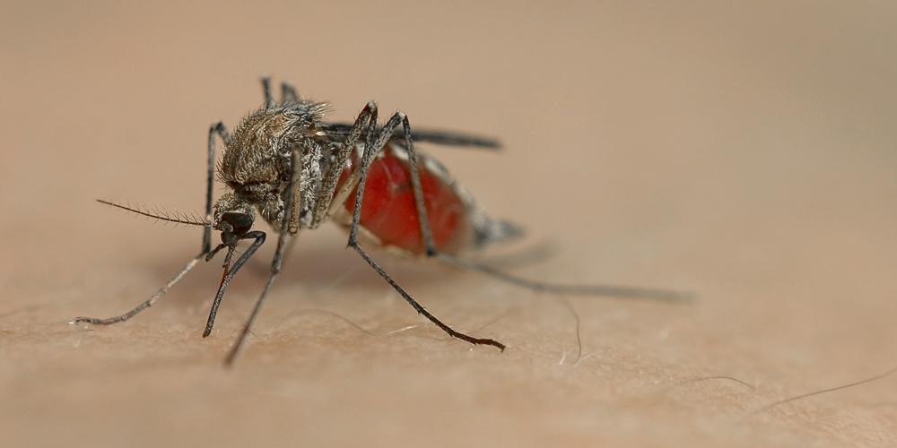Langbeinige Mücke