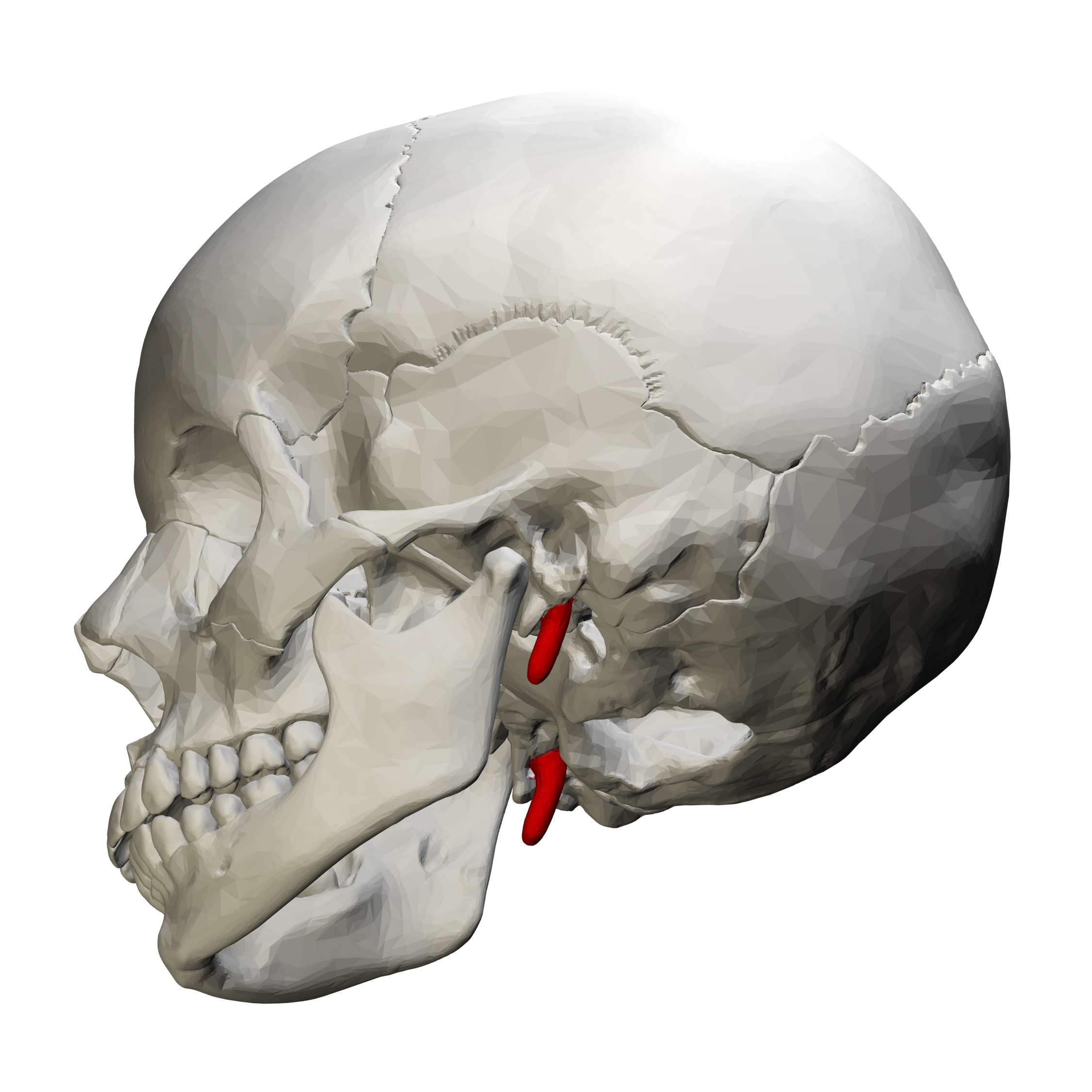 File:Styloid process of temporal bone - lateral view03.png