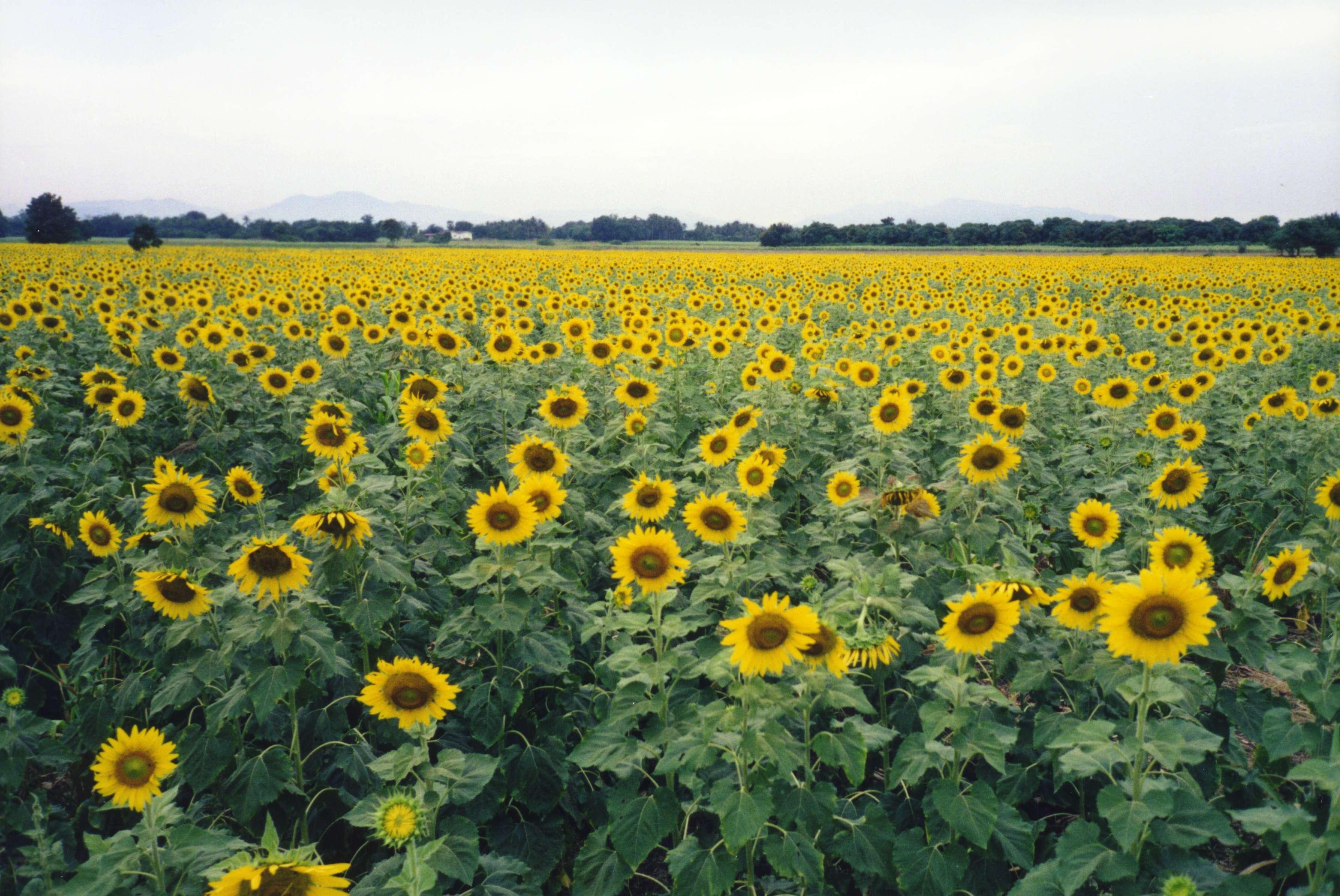 File Sunflower Fields Lopburi