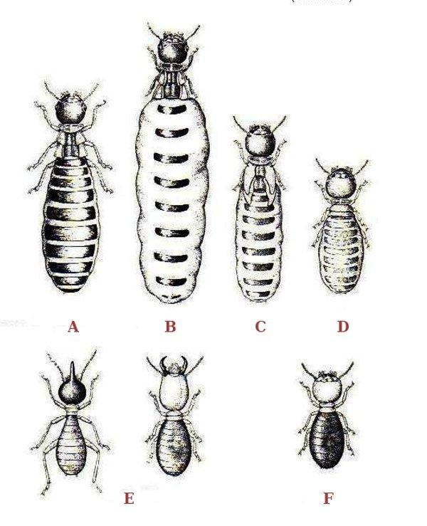 Termites polymorphism.jpg