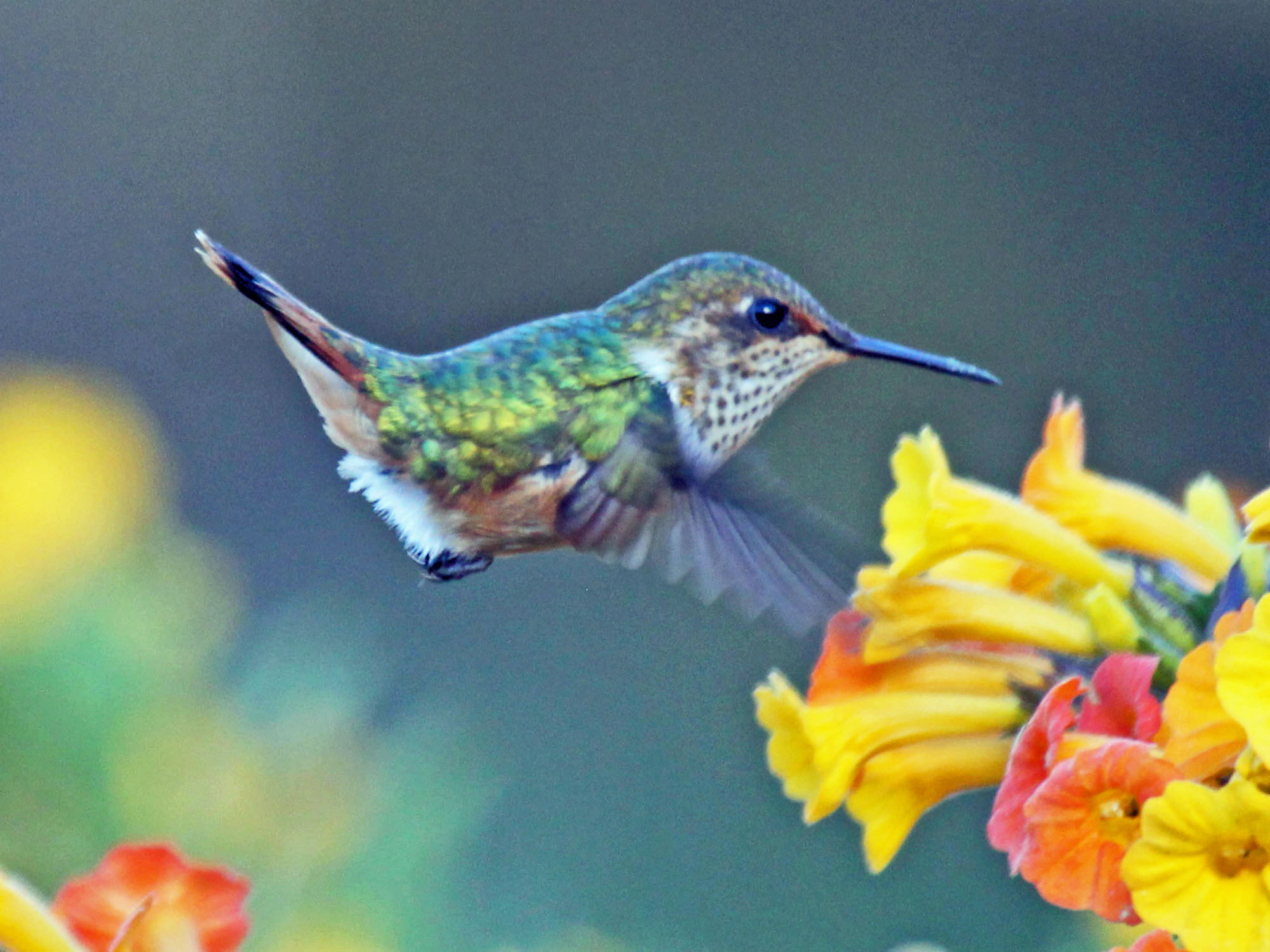file volcano hummingbird rwd9 jpg wikimedia commons