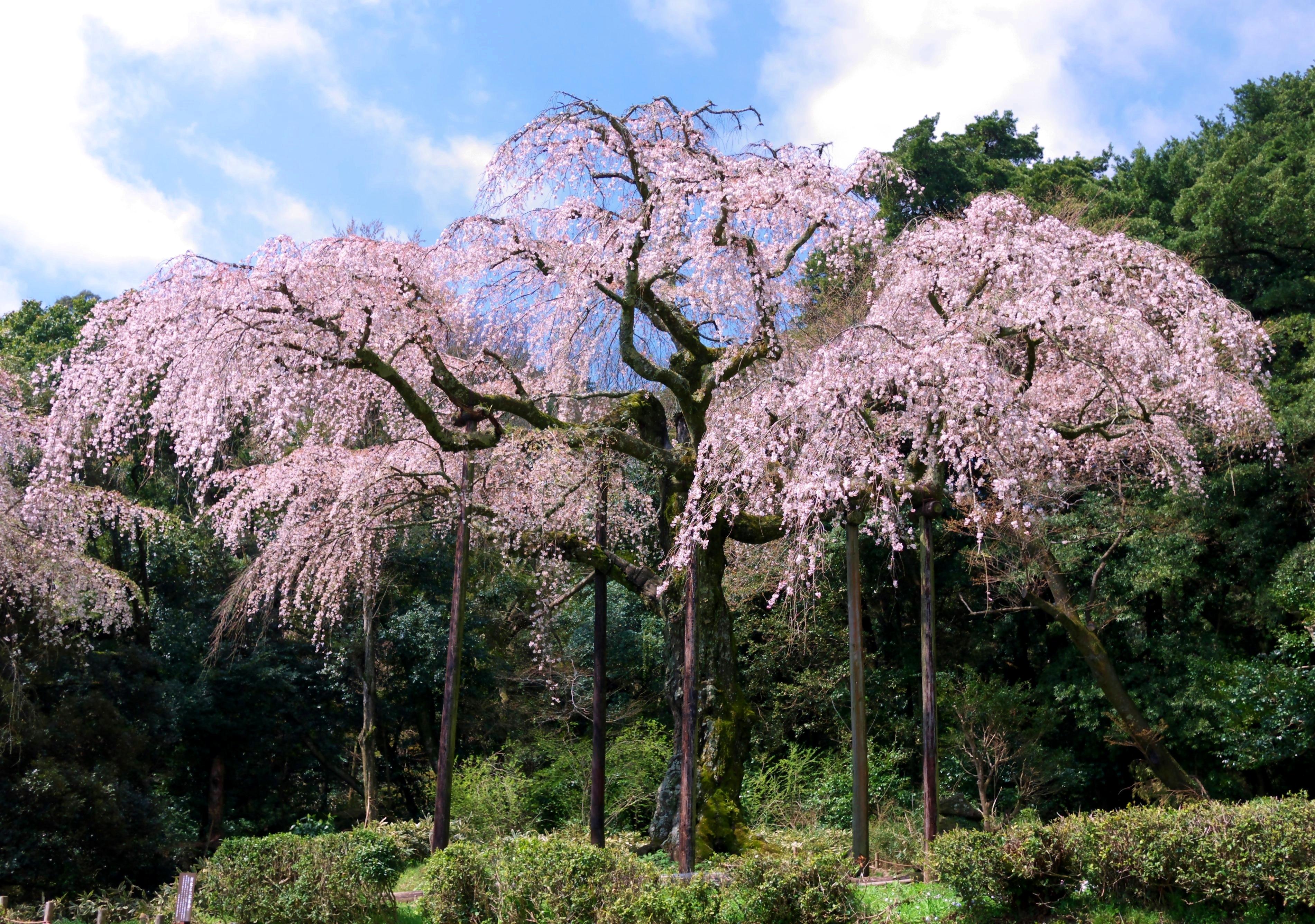 File Weeping Cherry Tree In Chōkōzan Shōtai Ji Temple Jpg