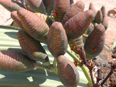 Plik:Welwitschia-bug Probergrothius-angolensis.jpg