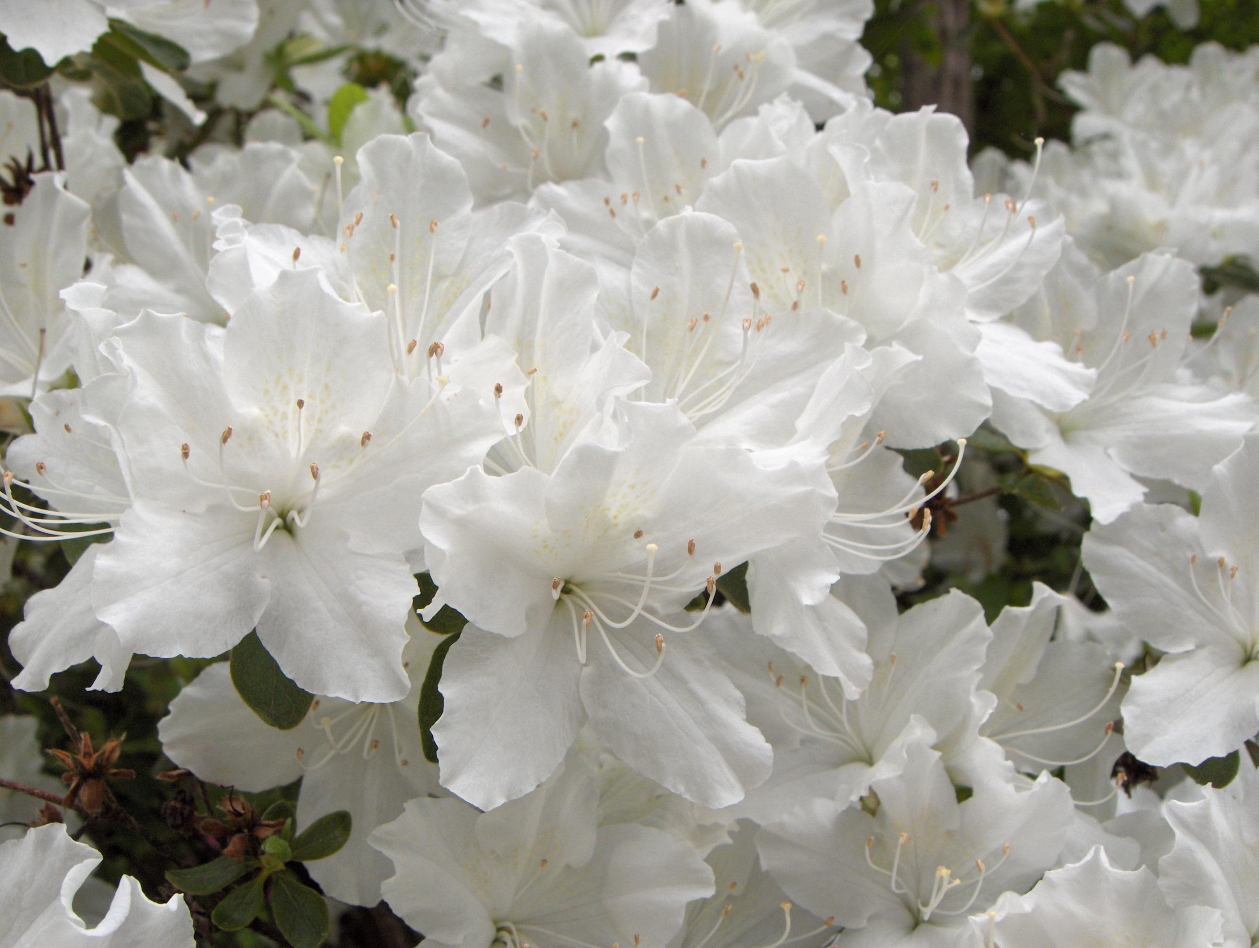 Image result for white azalea for shade