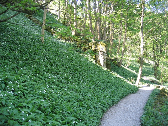 Wild Garlic and Footpath to Janet's Foss - geograph.org.uk - 502656