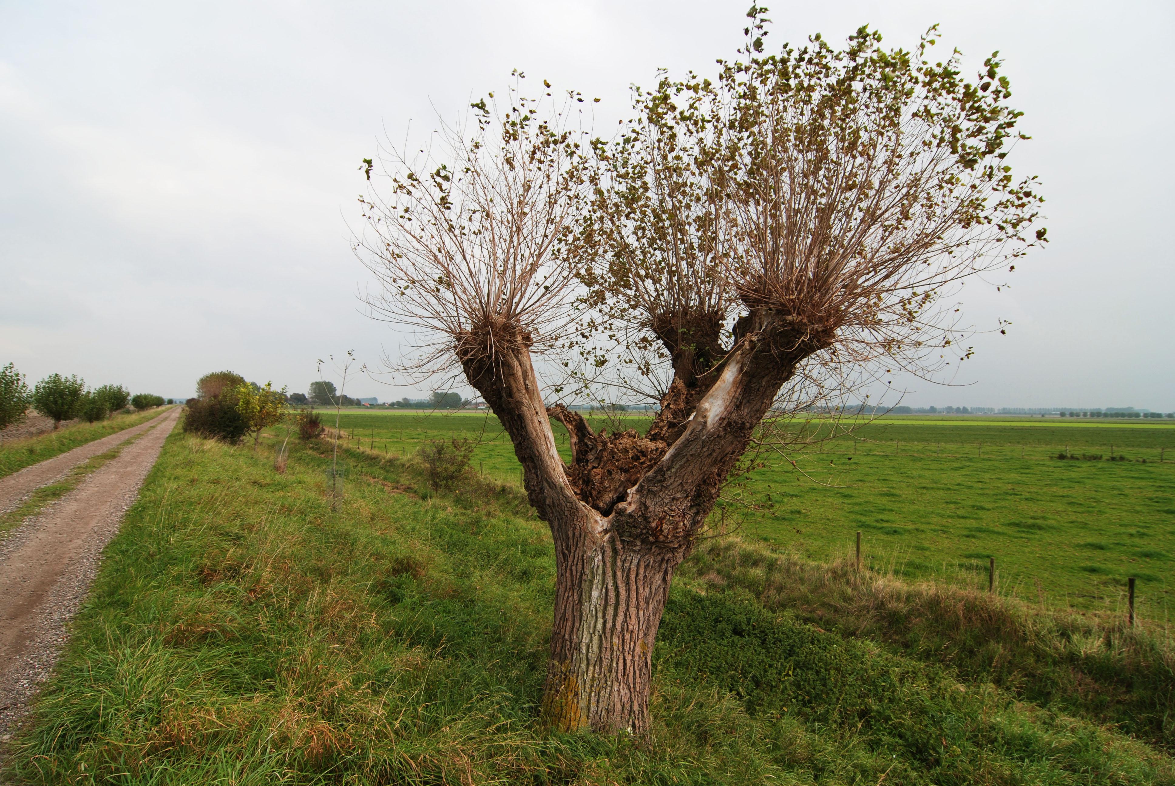 willow vertaling